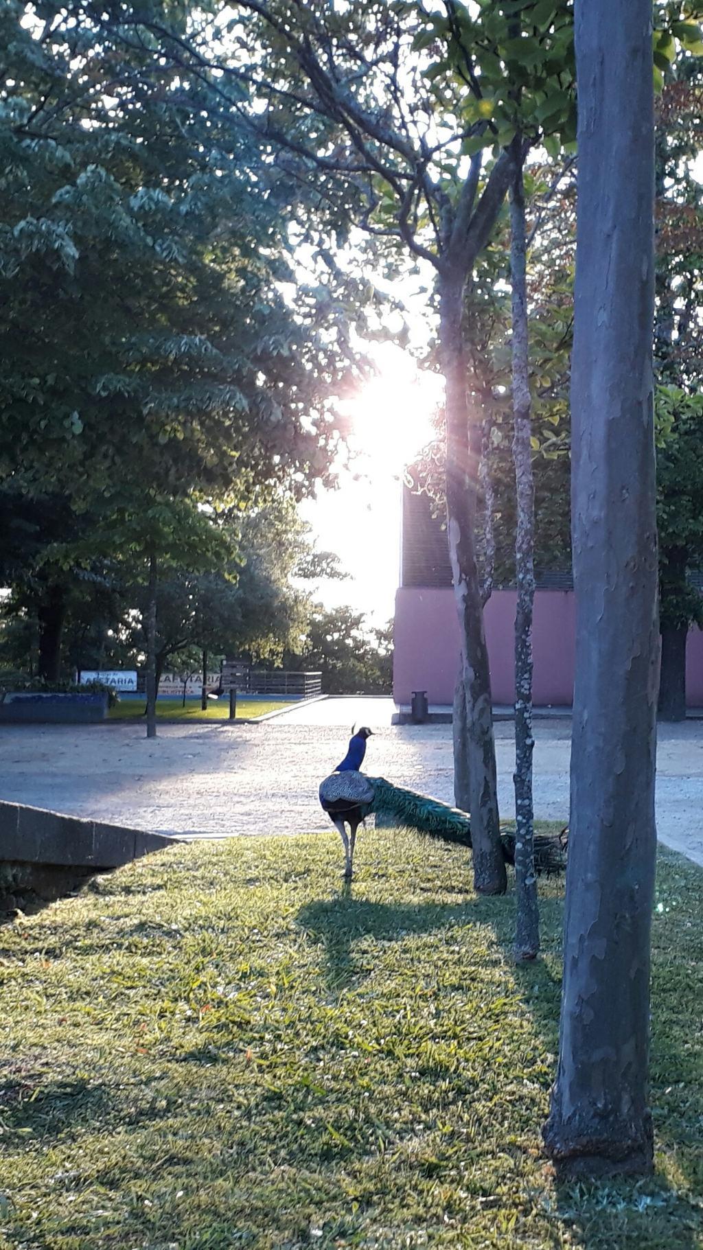 Pfau in den Jardins do Palácio de Cristal