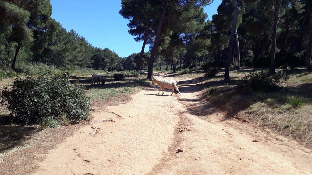 Auf dem Rückweg durch den Wald begegnet ihr vielleicht ein paar Ziegen