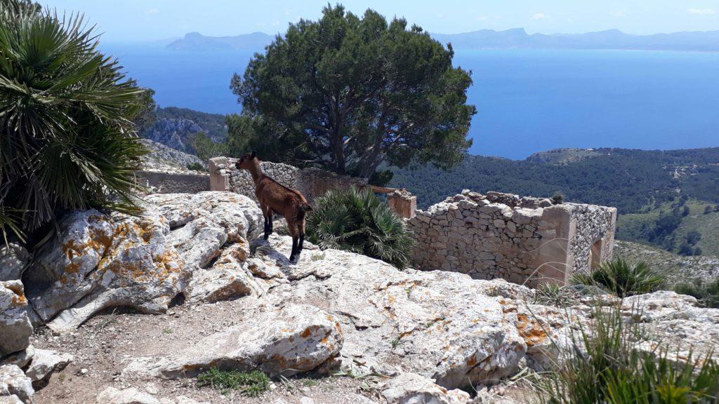 Auch hier gibt es Ziegen: Der Talaia d'Alcúdia markiert den höchsten Punkt der Halbinsel La Victòria bei Alcúdia