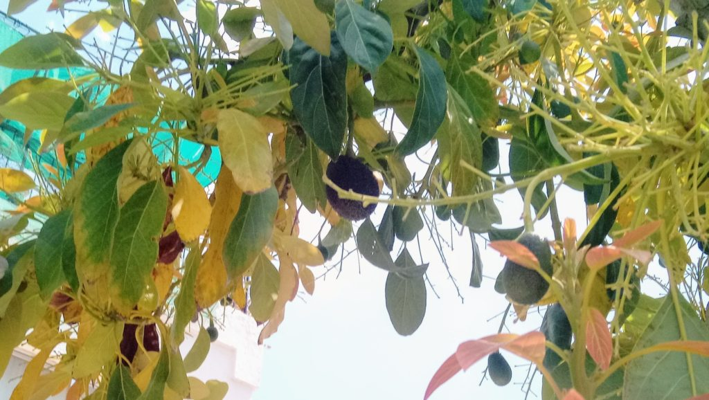 Avocadobaum am Straßenrand in Zypern