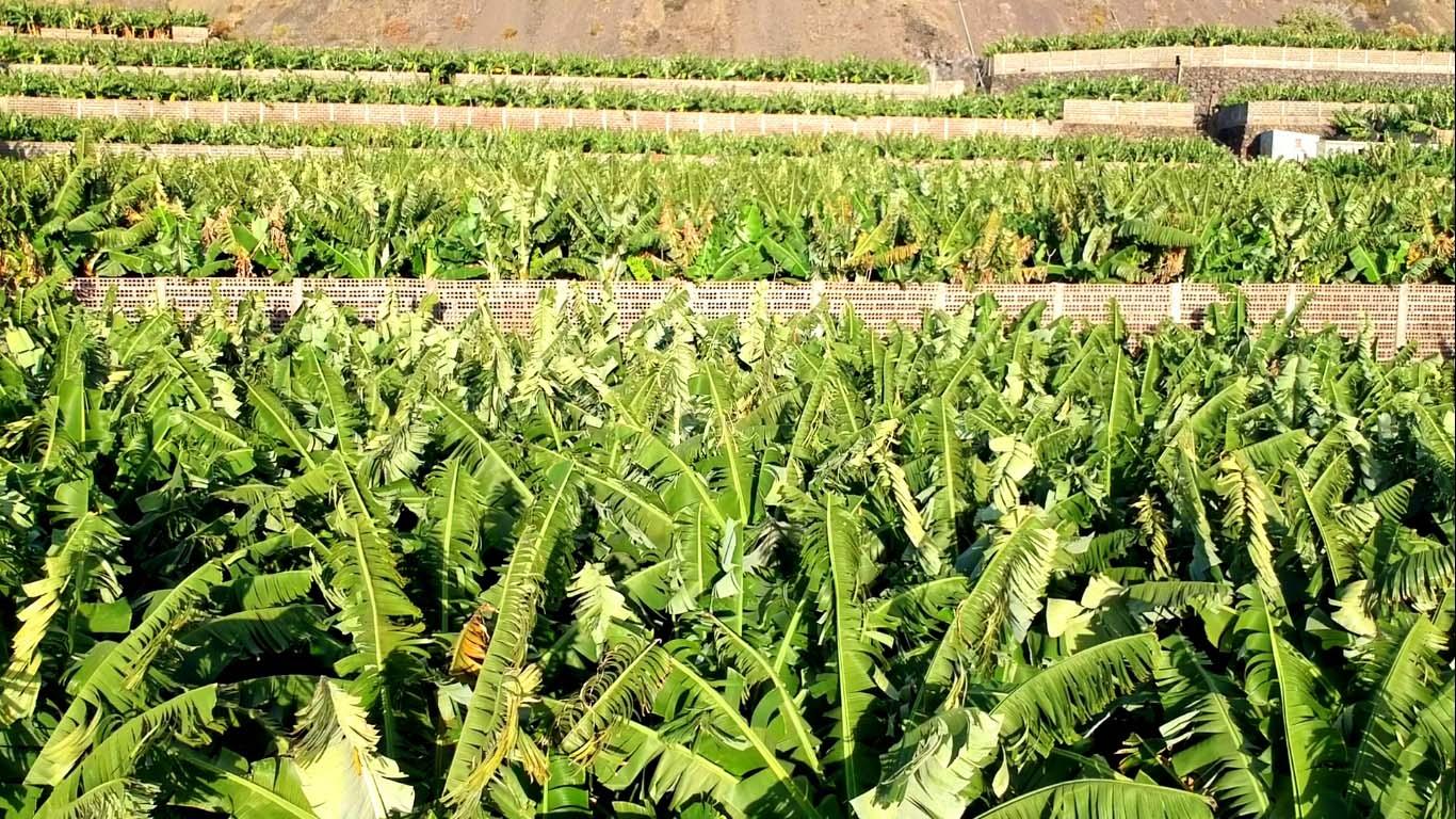 Typischer Anblick auf La Palma: Bananenplantagen soweit das Auge reicht