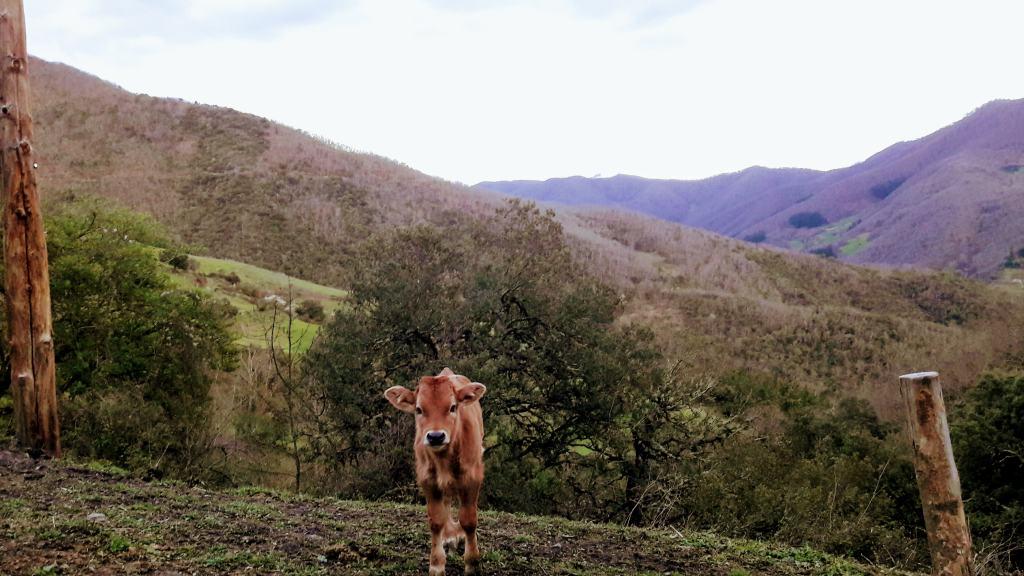 Calf near Torices