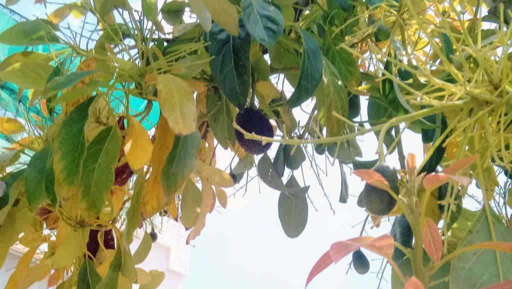 Avocado tree on the roadside in Cyprus