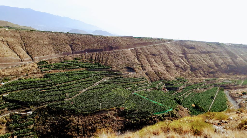 Plantaciones de plátano en Tazacorte