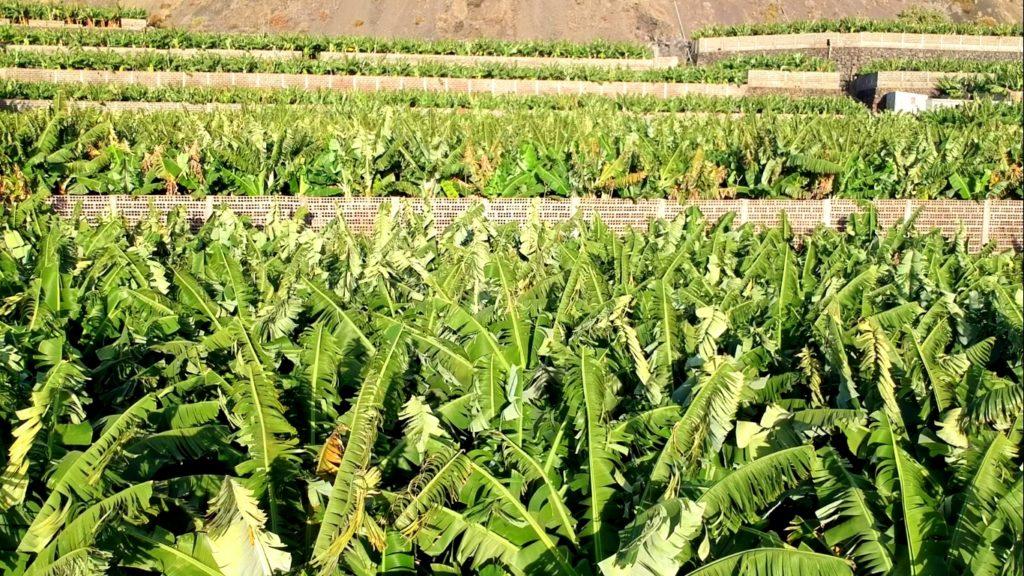 Paisaje típico de La Palma: Plantaciones de plátanos hasta donde alcanza la vista