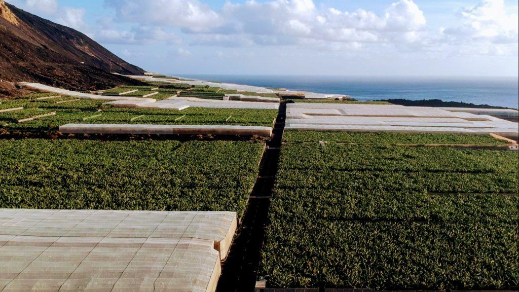 También típico de La Palma: plantaciones de plátano en la medida en que el ojo puede ver